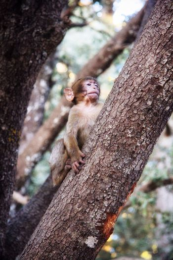 Macaco Macaca Animal Animals In The Wild Animal Photography Atlas Atlas Mountain Marruecos Marocco Baby Animals Baby Animal Primate Tree Climbing Trees