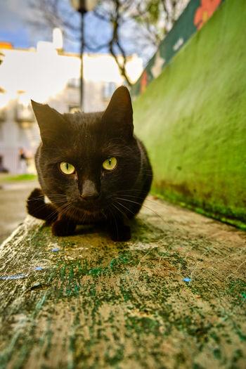 Portrait of black cat sitting outdoors