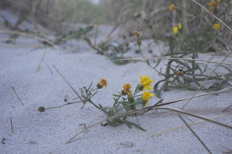 Nature Plant Growth Flower Outdoors No People Fragility Beauty In Nature Close-up Day Freshness Yellow Flower Sand Dune Beach Flowers Skagen
