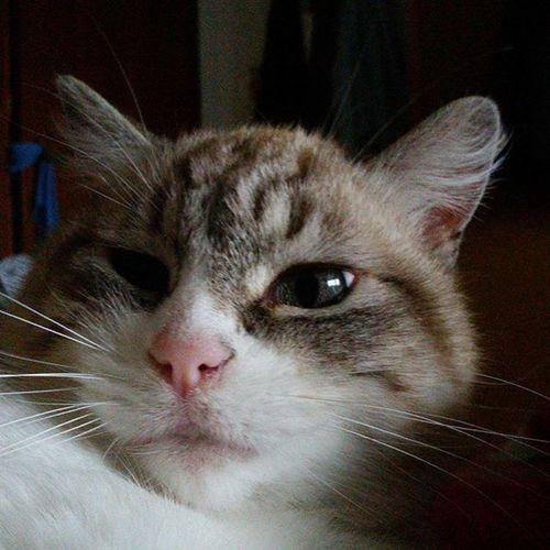 Quanto Sonno . how much Sleep Luna Mylove Mycat LeChat Cat Miao Meow Gatta Nasinorosa OcchiBlu Champagne Catoninstagram Lovely Lovelycat Beautiful Occhioni Eyes Occhionidolci 😚 😚 Thenoiseofluna Musetto
