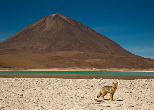 Animal Themes Animal Wildlife Animals In The Wild Arid Climate Bolivia Clear Sky Day Desert Ecology Landscape Lationamerica Mammal Mountain Mountain Range Nature Photograhy Nature Photography No People One Animal Outdoors Scenics