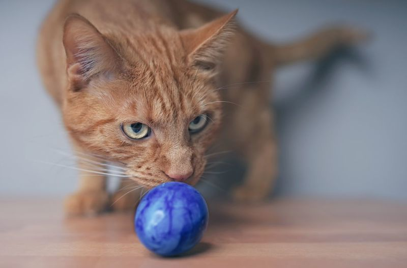 Close-up of cat with ball on table