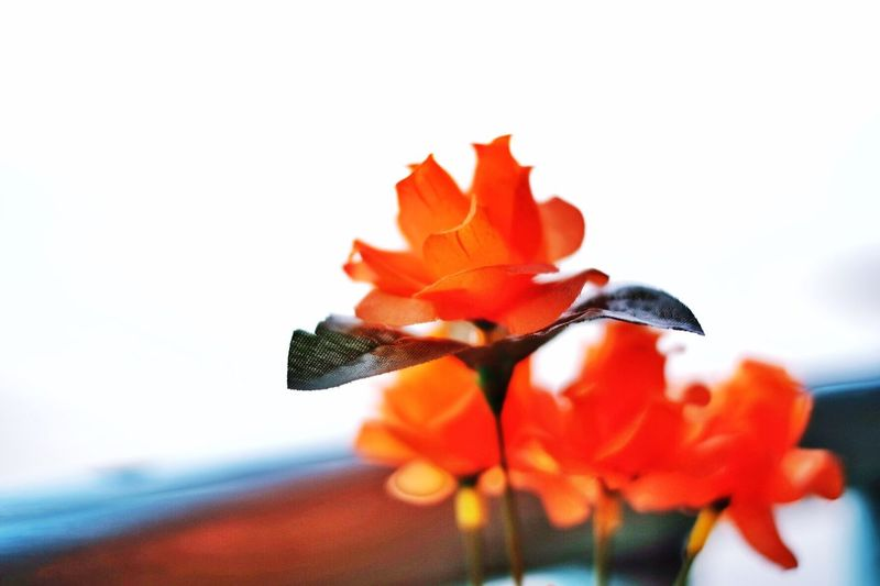 Plastic Flowering Plant Flower Freshness Vulnerability  Fragility Beauty In Nature Petal Close-up Orange Color