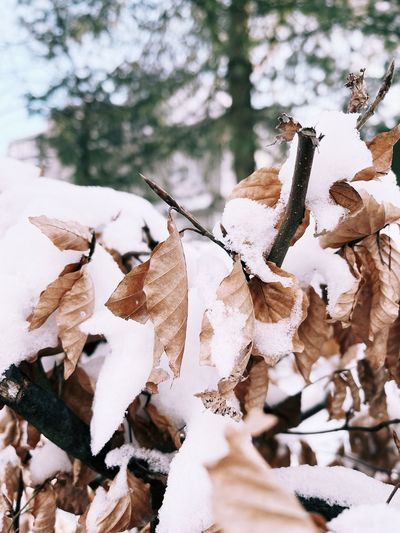 Close-up of frozen leaves on snow covered land