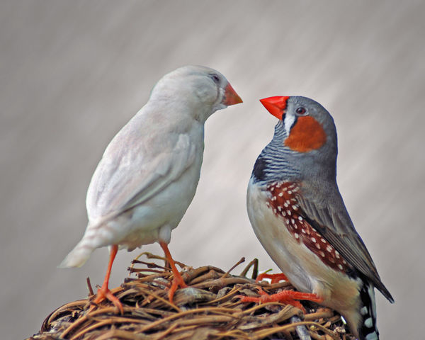 Beak Bird Bird Photography Birds Birds In A Nest Birds Of EyeEm  Close-up Feather_perfection Feathered Feathered Friends Featheredbeauties Feathers Finches Friendship Horizontal Composition Nature Nest Pairs Perching Two Animals Two Birds Wildlife Zebra Finches