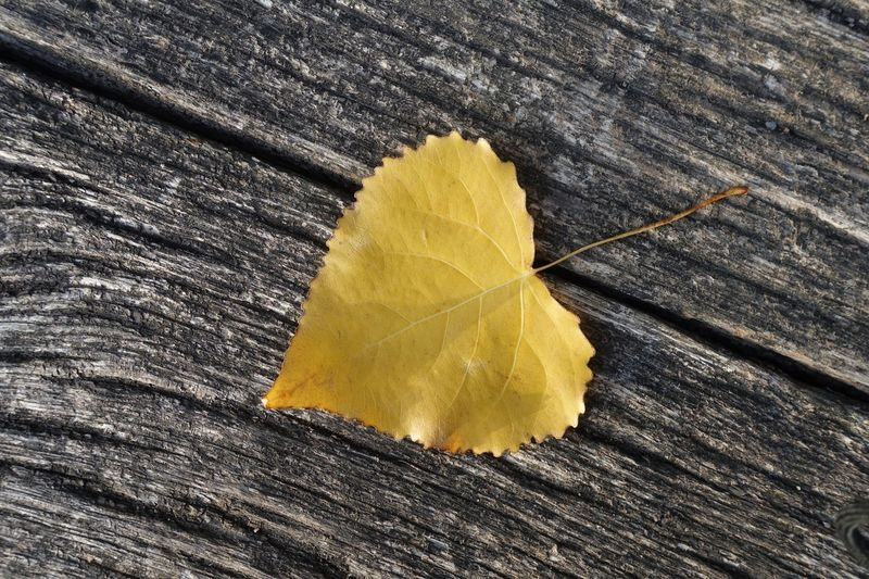 Yellow autumn leaf Herbst Germany Copy Space Wallpaper Background Wood Yellow Close-up Plant Part Leaf Textured  High Angle View Wood - Material No People Autumn Nature Outdoors Directly Above Single Object Leaf Vein