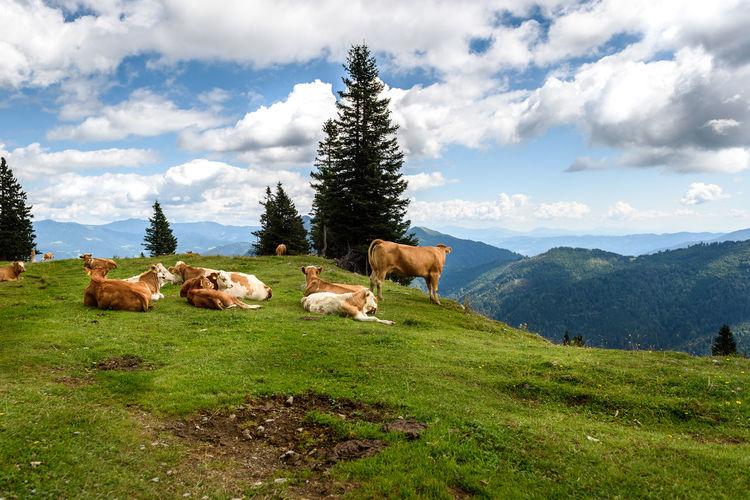 Sheep in a farm