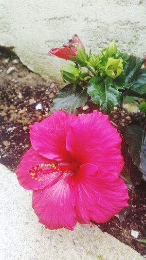 hibiscus in