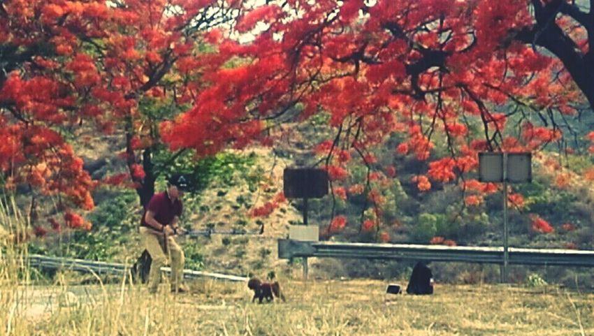 凤凰树系列12 Tree Autumn Branch Leaf Field Grass Plant
