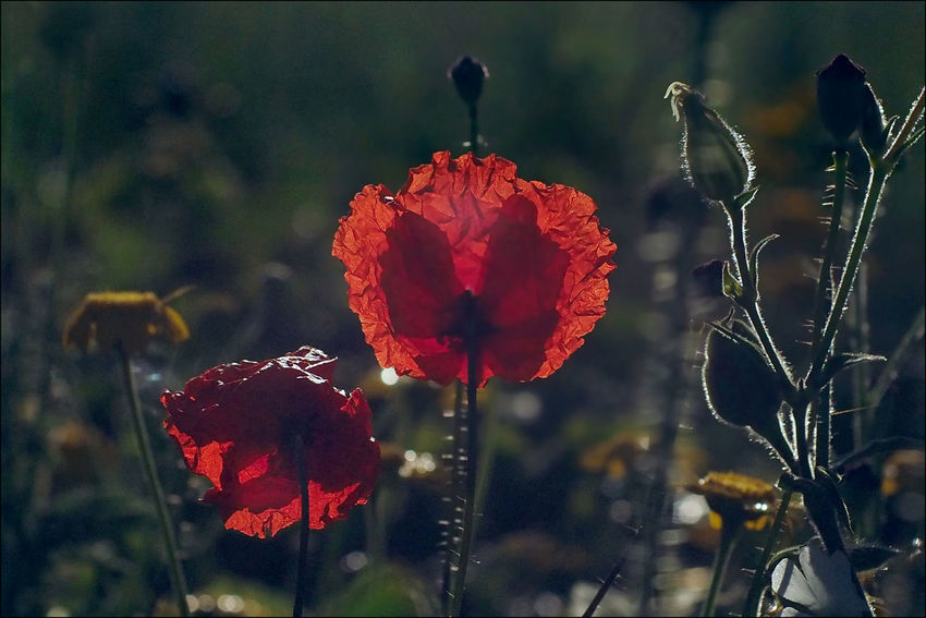 Old lens Photography Boundary Fine Art Photography Gegenlicht Meyer-Optik-Görlitz Old Lens Photo Primoplan Beauty In Nature Blooming Close-up Day Flower Flower Head Focus On Foreground Fragility Light And Shadow Macro Nature No People Old Lens Outdoors Plant Poppy Poppy Flowers Red