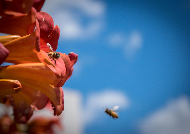 Bee pollinating on orange flower