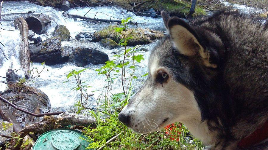 Prospecting. Summer Dogs Alaska
