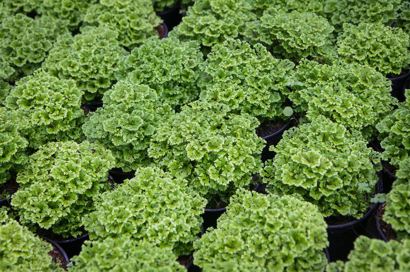 High angle view of vegetables on plant