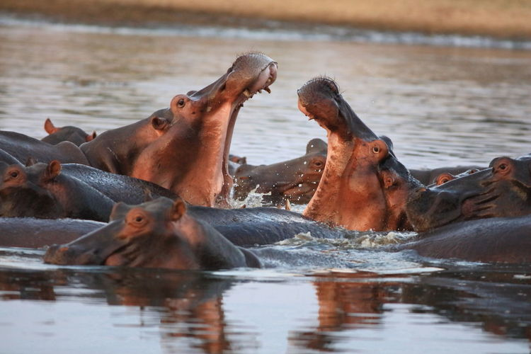 Close up of hippos in water