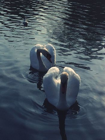 Water EyeEm Gallery Birdstagram Birdsofinstagram Birds_collection EyeEm Birds White Bird Bird Photography Lake Swans Wildlife Water Bird Swans ❤ Swimming Reflection White Animals In The Wild Outdoors Nature Bird EyeEm Nature Lover EyeEm Gallery Nature_collection Showcase April