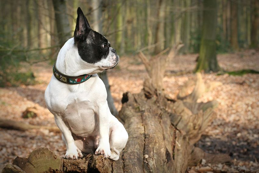 Dog In The Forest Hund Im Wald Französische Bulldogge  Wood Forest Wald Waldspaziergang Outdoors Outdoor Photography Wildenloh Oldenburg Dogs Frenchbulldog EyeEm Selects Pet Portraits