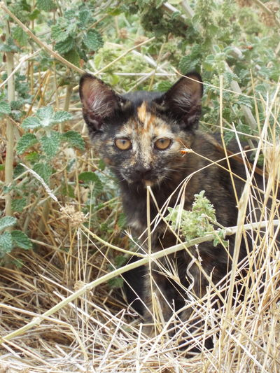 Tortoiseshell Kitten Luck Good Luck Tortoiseshell Cats Kittens Cats Weeds Countryside Rural And Remote Sheep Station Felines Barn Cats Mouse Catcher