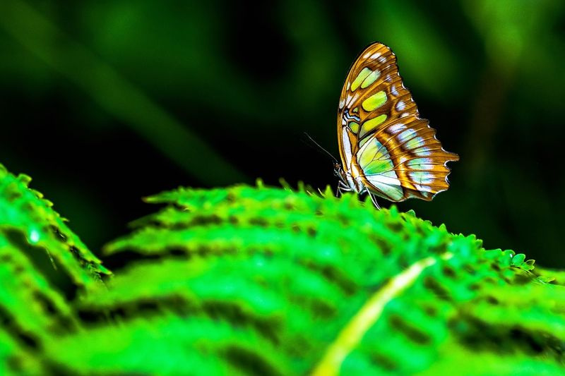 Animals In The Wild Butterfly - Insect Wildlife Green Color Butterfly Selective Focus Exceptional Photography Beauty In Nature Exceptional Photographs EyeEm Selects Art Is Everywhere EyeEm Gallery EyeEm Best Shots EyeEm Nature Lover EyeEm Nature The Week On EyeEm