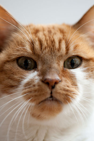 Animal Head  Animal Photography Animal Themes Cat Domestic Cat Looking At Camera Meisje One Animal Perspective Pets Swaanfotografie What Do You Want?