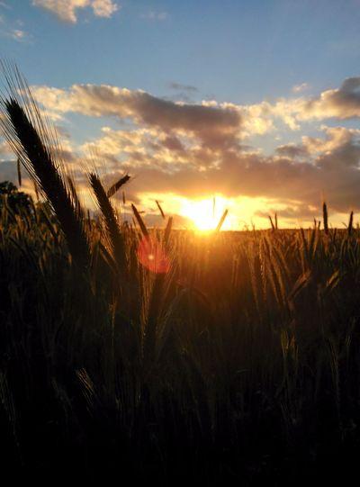 Horizont  Sun Canola Crops  Canola Field Sky Copy Space Sunset Canolaflower Rapeseed Field Golden Dark Light