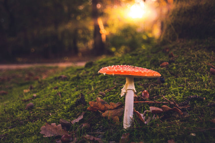 Autumn Autumn Leaves Fairy Fairytale  Red Sunlight Beauty In Nature Close-up Day Fly Agaric Fly Agaric Mushroom Focus On Foreground Forest Freshness Fungus Growth Mushroom Nature No People Outdoors Sunbeam Toadstool Toxic Tranquility Tree
