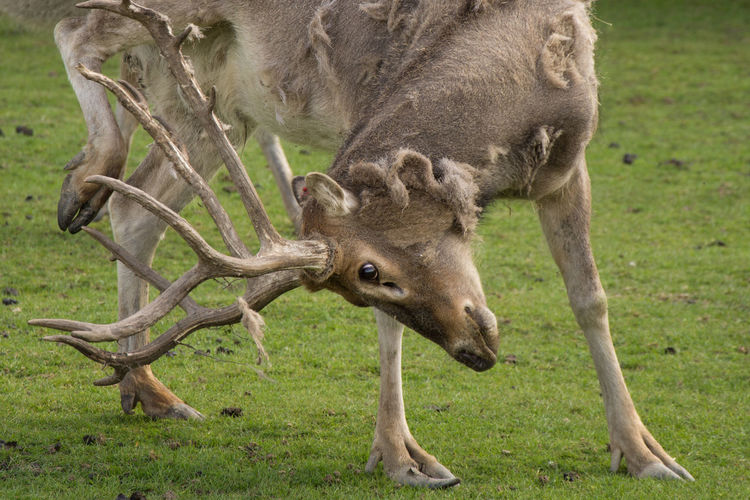 Animal Themes Animal Wildlife Animals Animals In Captivity Animals In The Wild Antler Close-up Day Field Grass Green Mammal Moose Nature No People One Animal Outdoors Reindeer Safari Zoo