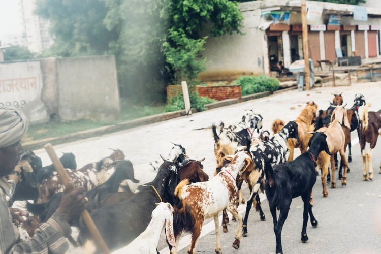Shepherd walking with goats on street