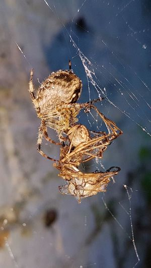 Spider Eating Spider Cranefly Spiderweb Mothernature Circleoflife Unfair Nature Photography Nature Photography