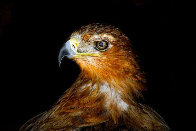 Close-up of hawk against black background