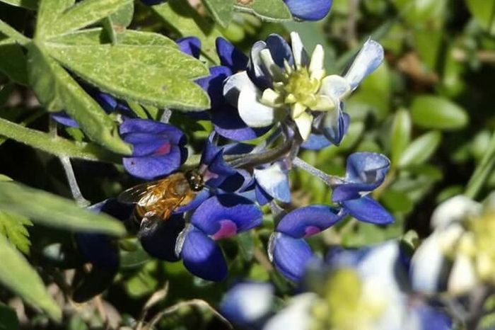 Insect Paparazzi Insects Beautiful Nature Insect Photography Beeandflower Bee 🐝 Flower Collection Bluebonnets Texasbluebonnets Nature Photography Texaslife Amaturephotography Nature_collection In Your Face Photography Eye4photography  Filters Texas Landscape