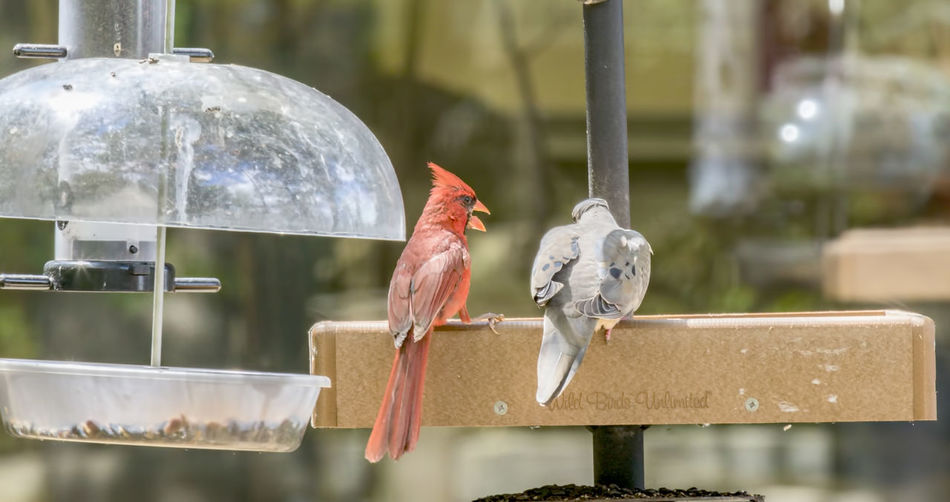 Food Fight Cardinal Animal Themes Animal Wildlife Animals In The Wild Argument Avian Bird Bird Feeder Day Focus On Foreground Food Food Fight Gray Mourning Dove Nature No People Outdoors Perching Red Color