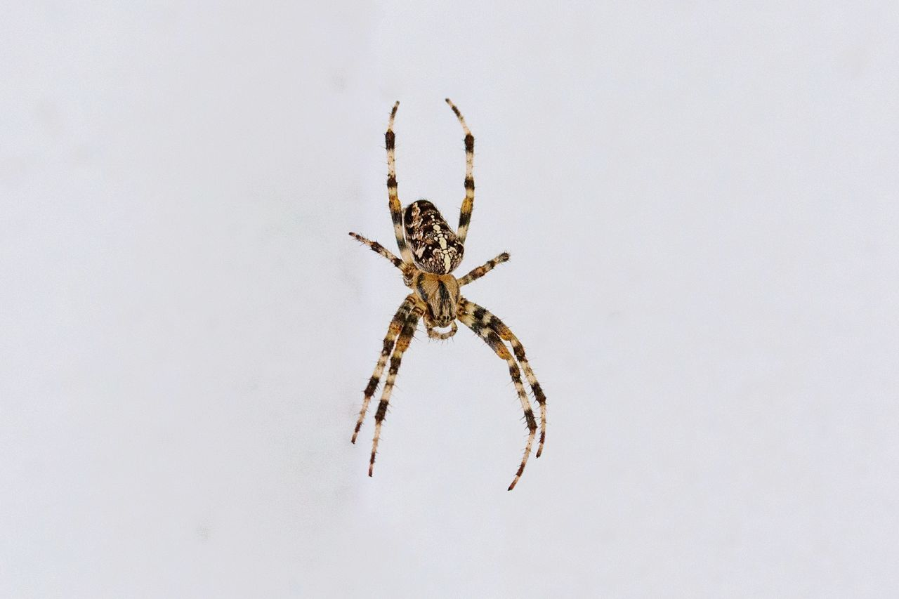 one animal, arachnid, animal, invertebrate, animal themes, animal wildlife, studio shot, insect, spider, arthropod, animals in the wild, white background, copy space, indoors, close-up, zoology, no people, cut out, full length