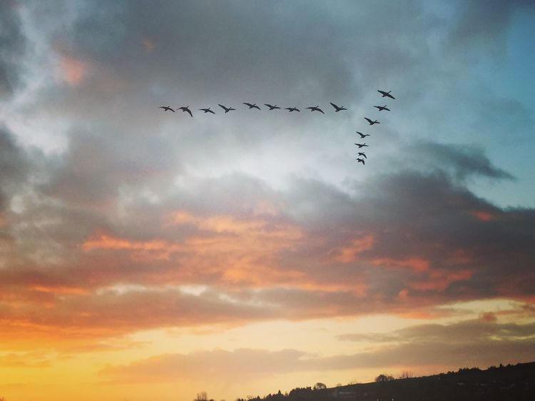 Geese Flying at Dawn Bird Sky Cloud - Sky Animal Themes Animals In The Wild Large Group Of Animals Low Angle View Flock Of Birds Migrating Mid-air Togetherness Sunset Nature Silhouette Animal Wildlife No People Outdoors Beauty In Nature Spread Wings