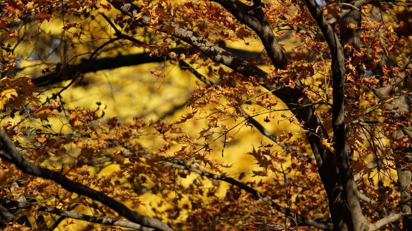 Autumn in Japan Autumn leaf change Tree branch Nature leaves dry beauty in Nature outdoors Growth day twig no people yellow Plant Sunlight forest fragility maple leaf tokyo Maple Leaf Fragility Forest Sunlight Plant Yellow No People Twig Day Growth Outdoors Beauty In Nature Dry Leaves Nature Branch Tree Change Leaf Autumn Autumn In Japan