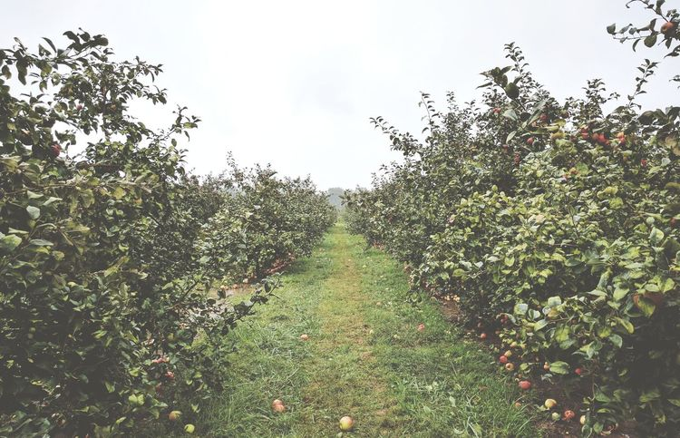 Rainy morning at the Apple Orchard Growth Tree Plant Sky Tranquil Scene Nature Tranquility Green Color Branch Scenics Beauty In Nature The Way Forward Footpath Outdoors Day Non-urban Scene Lush Foliage Agriculture Remote No People Apples Appletree Apple Orchard Rainy Days
