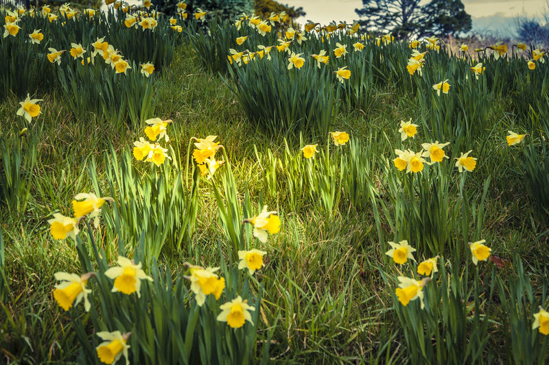 Narcissus /nɑːrˈsɪsəs/ is a genus of predominantly spring perennial plants in the Amaryllidaceae (amaryllis) family. Various common names including daffodil,[notes 1] daffadowndilly, narcissus, and jonquil are used to describe all or some members of the genus. Narcissus has conspicuous flowers with six petal-like tepals surmounted by a cup- or trumpet-shaped corona. The flowers are generally white or yellow (orange or pink in garden varieties), with either uniform or contrasting coloured tepals and corona. Narcissus were well known in ancient civilisation, both medicinally and botanically, but formally described by Linnaeus in his Species Plantarum (1753). https://en.wikipedia.org/wiki/Narcissus_(plant) Blossom Botanical Gardens Daffodil Daffodils Dunedin Flower G Garden Green Nature New Zealand Otaku Springtime Yellow