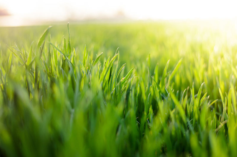 Beauty In Nature Golden Hour Grass Grass Green Green Color Growing Herbal No People Outdoors Plant Plant Springtime Sun In Background Sunset