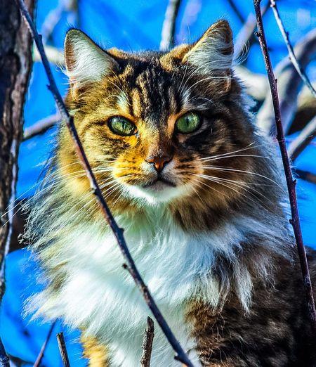 Lola Cat Lovers Chat Feline Portraits Félin  Animal Themes Mammal EyeEmNewHere Whisker Domestic Cat Feline