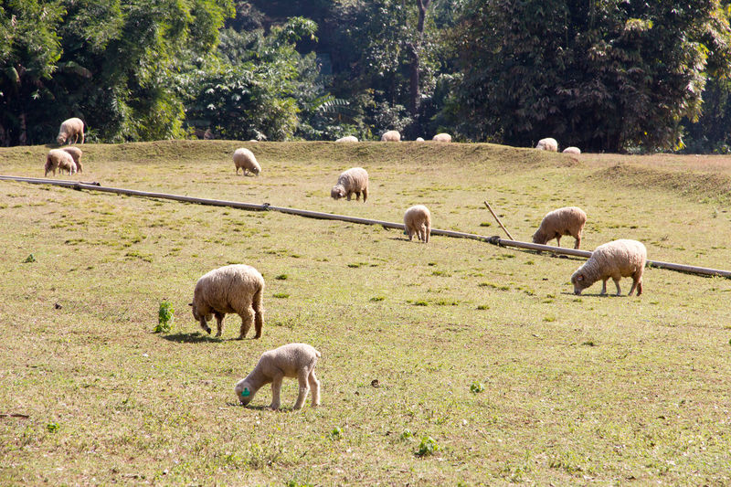 Sheep grazing in the farm Animal Themes Animals In The Wild Beauty In Nature Day Domestic Animals Field Flock Of Sheep Grass Grazing Green Color Large Group Of Animals Livestock Mammal Nature No People Outdoors Sheep Sheep Farm Sheep Grazing Sheep Meadow Tree