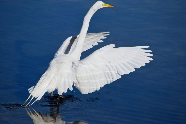 Snowy Egret Flapping Wings In River