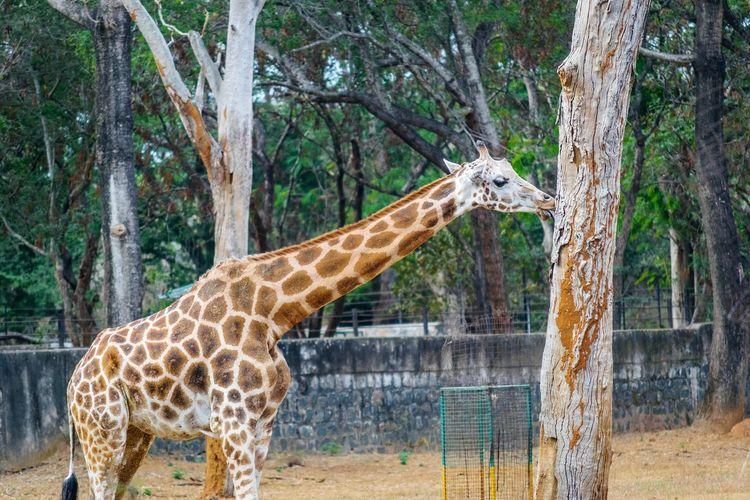 Low Angle View Of Giraffe Feeding On Plant Bark At Zoo