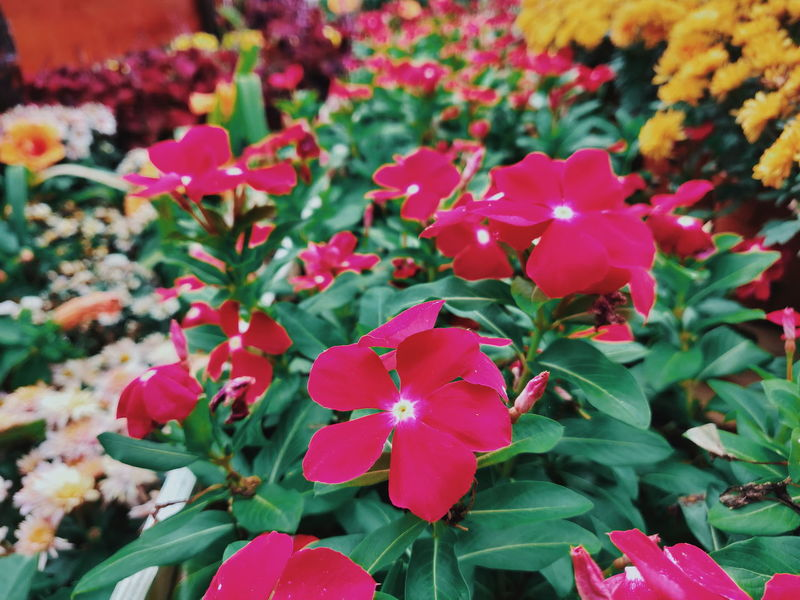 Impatiens walleriana Floria Red Color Red Flower Nature_collection Nature Photography Flower Head Flower Leaf Close-up Plant In Bloom Blooming Plant Life Botany Botanical Garden