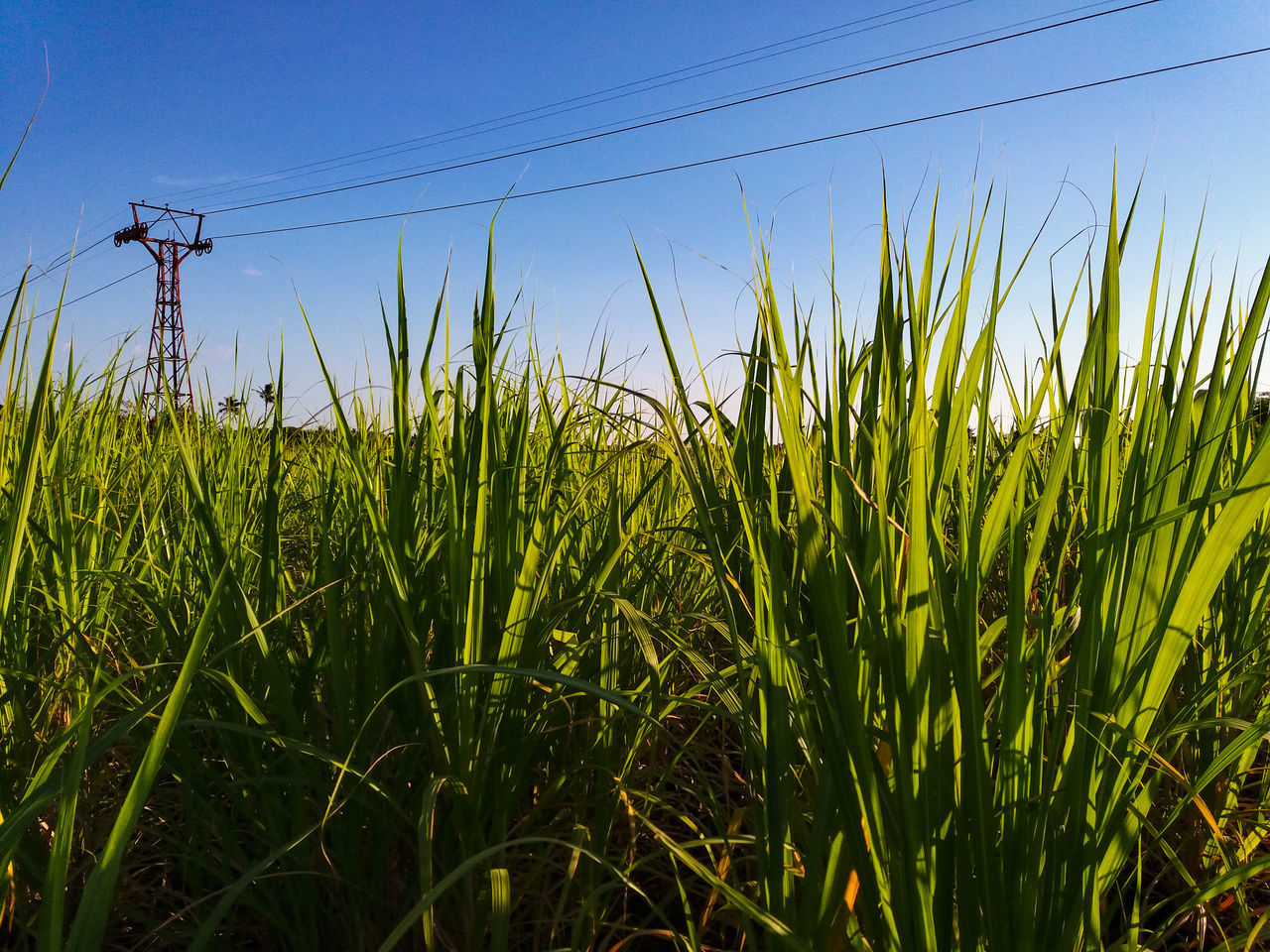 field, grass, growth, cable, nature, no people, agriculture, day, tranquility, outdoors, rural scene, beauty in nature, clear sky, technology, electricity pylon, sky, close-up