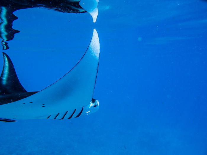 Animals In The Wild Blue Close-up First Eyeem Photo Indoneasia Journey Manta Manta Ray Outdoors Underwater Vibrant Color Water