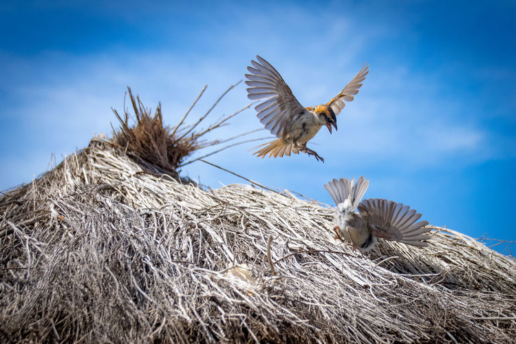 Animal Themes Animal Wildlife Animals In The Wild Bird Bird Nest Bird Of Prey Close-up Day Flying Low Angle View Nature No People Outdoors Sky Sparrow Sparrow Bird Sparrows Spread Wings