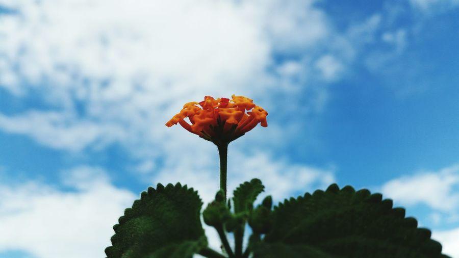Close-Up Of Orange Lantana Flowers
