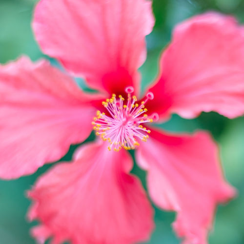 Chinese hibiscus Beauty In Nature Blooming Close-up Flower Flower Head Nature Outdoors Plant Pollen