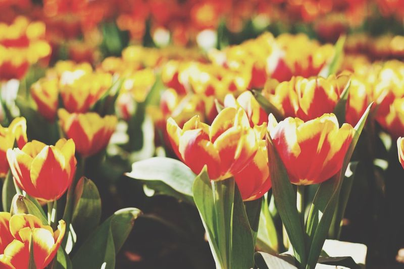 Tulips Flower Nature Petal Beauty In Nature Freshness Growth Fragility Flower Head Blooming Plant No People Focus On Foreground Outdoors Day Close-up