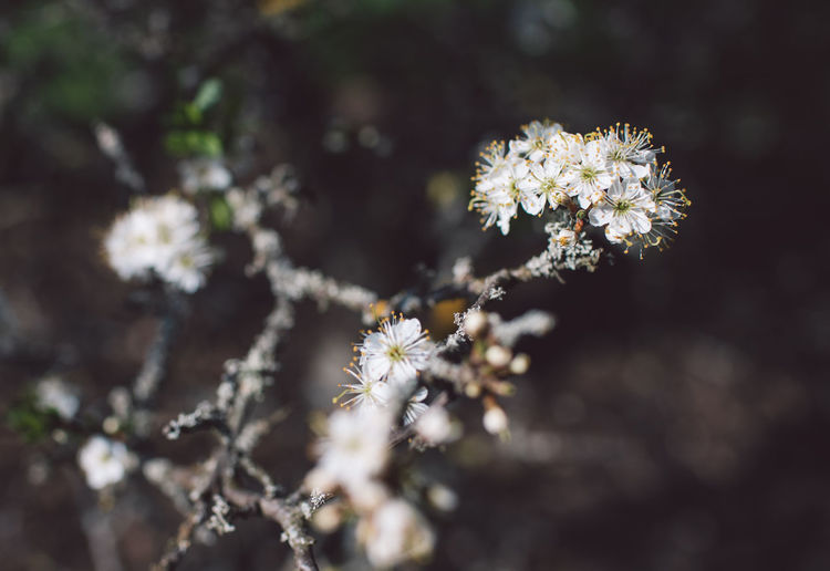 Springtime Decadence Flower Flowering Plant Plant Fragility Freshness Vulnerability  Beauty In Nature Growth Selective Focus Close-up No People Nature Day Outdoors Flower Head Petal Inflorescence White Color Sunlight Blossom Springtime Spring
