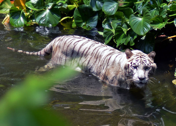 Animal Animal Themes Animal Wildlife Animals In The Wild Big Cat Cat Day Feline Lake Leaf Mammal Nature No People One Animal Outdoors Plant Plant Part Tiger Vertebrate Water White Tiger